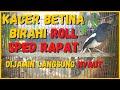 Suara Kacer Betina Birahi Roll Speed Rapat Memanggil Jantan Dijamin Langsung Gacor Ngotot  Mp3 - Mp4 Download