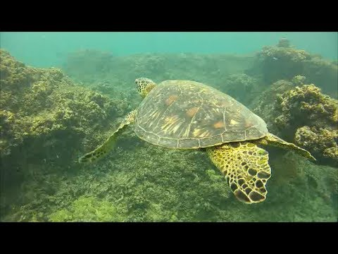 Turtles, Barracuda, Sea Horses, and a Shark; Ko Olina Beach Snorkeling, Oahu