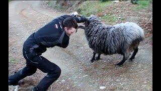 БАРАНЫ АТАКУЮТ!!! Баран Против Человека, Козы, Коровы и Даже Быка!