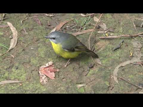 Australia; Eastern Yellow Robin