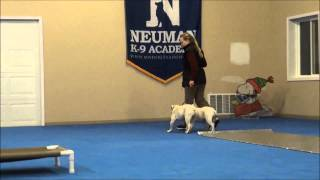 Mack (english Bulldog) Dog Training Boot Camp Video