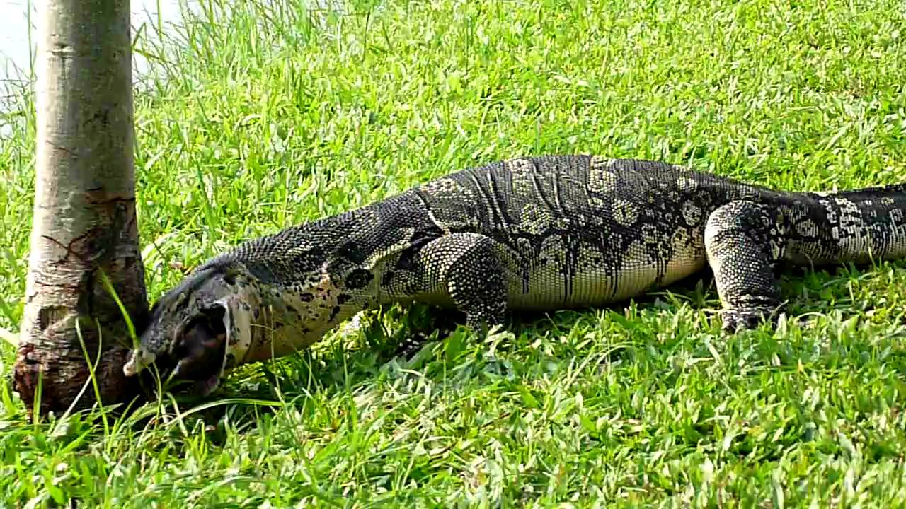 how to make a monitor lizard trap