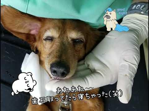 麻酔をかけない歯石取り中に うたた寝しちゃった可愛い❤️