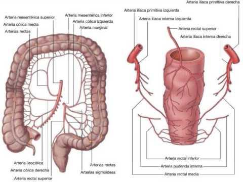 ANATOMÍA DEL APARATO DIGESTIVO- Irrigación de los órganos digestivos ...