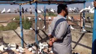 Indian Pigeon Khalid Z Saiyd Surat India 2