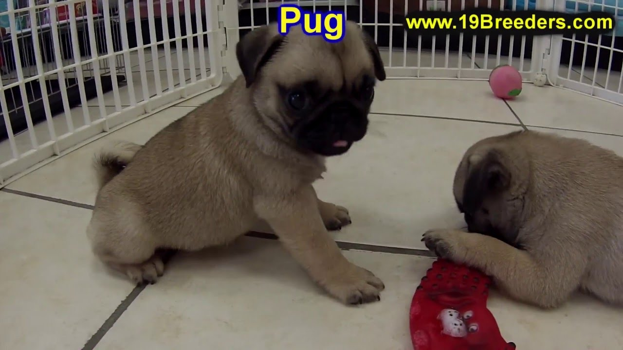 Pug Puppies Dogs For Sale In Raleigh North Carolina Nc Durham