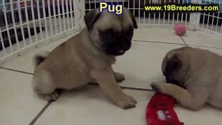Pug, Puppies, For, Sale, In, Green Bay, Wisconsin, Wi, Eau Claire, Waukesha, Appleton, Racine, Kenos