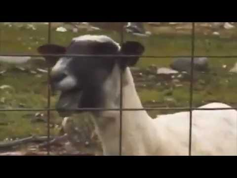 Screaming Goat Featuring Taylor Swift