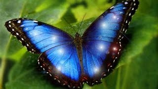 Most Beautiful Butterflies on Earth are 7 MORPHO IS ONE  NEW specie of Morpho