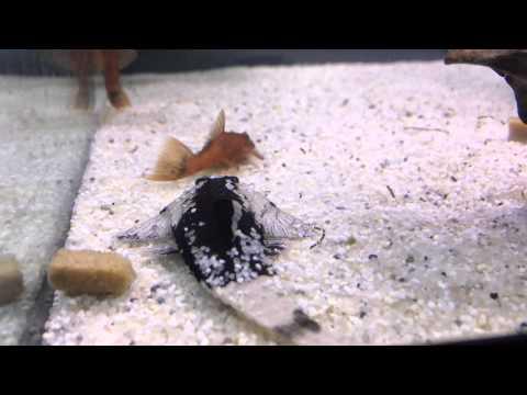 Chameleon Whiptail Catfish- Pseudohemiodon Apithanos Feeding (repashy Meat Pie)