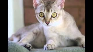 Сингапурская кошка, или сингапура (Singapura cat) породы кошек( Slide show)!