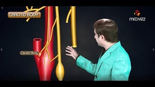 Carotid Body and Carotid Sinus (  Anatomy , Functions , Clinical application ) Medical animation