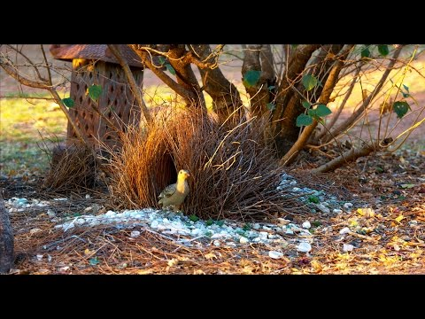 Australian Great Bower Bird Building Bower Nest in 4K