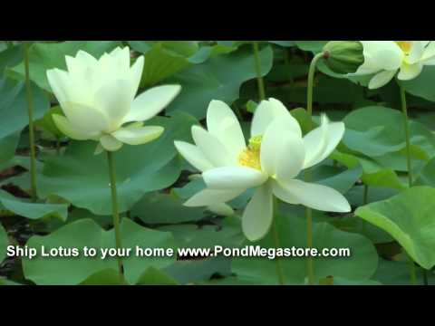 Lotus, Water Garden Lotuses, Pond Lotus, Garden, Nelumbo