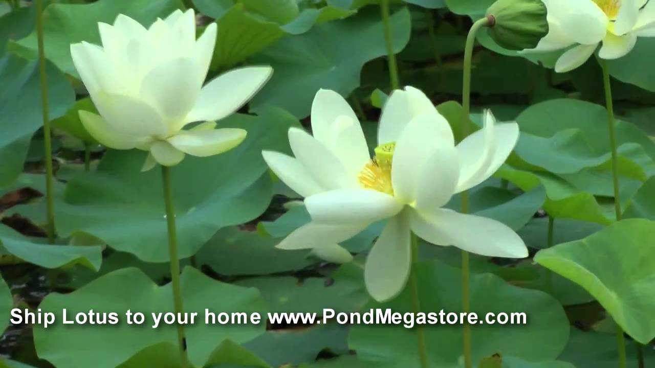 Lotus Water Garden Lotuses Pond Lotus Garden Nelumbo Youtube
