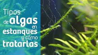 Cómo eliminar algas del estanque🌱