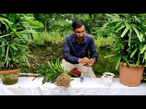 Propagate Rabish Palm Or Rhapis Palm Like A Nursery.