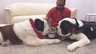 Its from stbernard Gogol s 10 birthday s cake eating video.