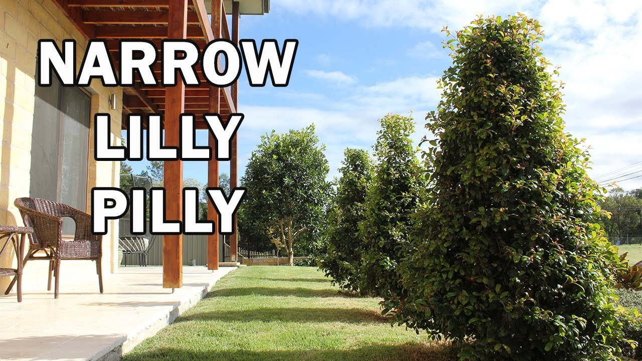 Pinnacle Syzygium An Australian Native Narrow Screening