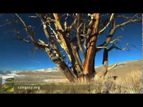 The Ancient Bristlecone Pine - The California Environmental Legacy Project
