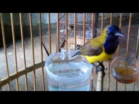 Cara Memancing Burung Sogok Ontong yang malaes bunyi agar racin gacor dan ngplong