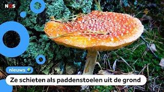 'Ik heb nog nooit zoveel paddenstoelen gezien'