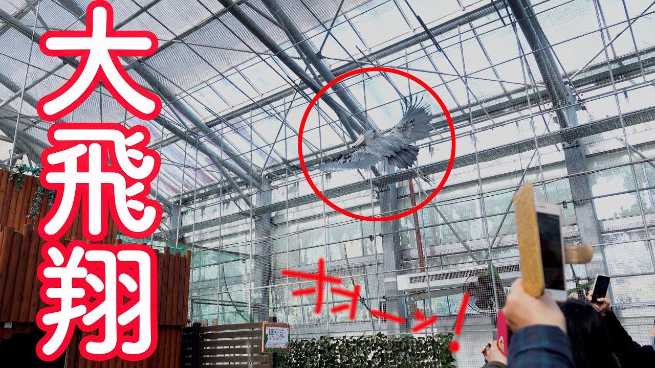 【最後まで必見】皆の者、さぁ見よと言わんばかりのハシビロコウのふたばの大飛翔! 【春のふたば】 Spring Futaba_2  Shoebill FUTABA 2021_28