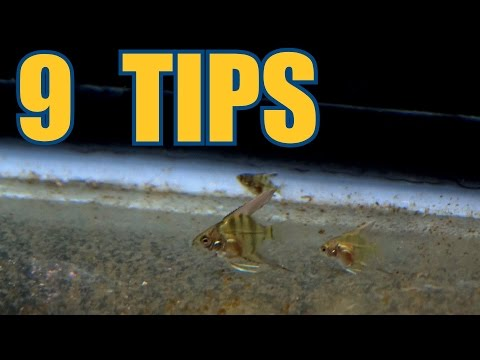 9 TIPS For Taking Care Of Angelfish Fry!