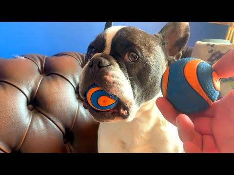 5 Ridiculous Things All French Bulldog Owners Can Relate To! (Part 5)