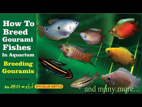 How To Breed Gourami Fish In Aquarium Everything About Gourami Fish