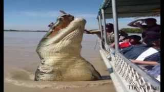 The Most Biggest Alligator in The World NEw Gator HD