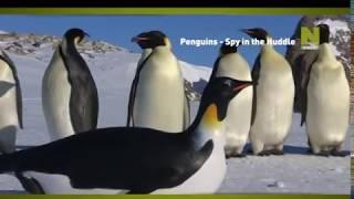 Пингвины - шпион в стае - промо передачи на Viasat Nature