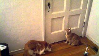 My velociraptor cat discovers how to open the front door