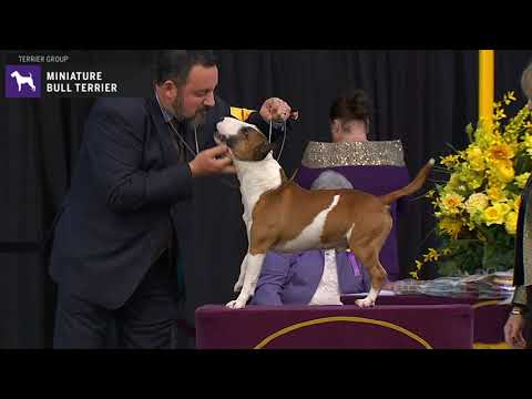 Miniature Bull Terriers | WKC | Breed Judging 2020