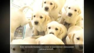 Лабрадор ретривер Крупные породы собак