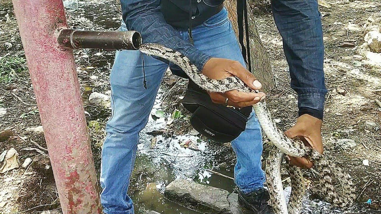 Big Snake Foresten Cat Snake बिल्ली सांप जो कहीं पर भी चढ़ सकता है Rescue From Well