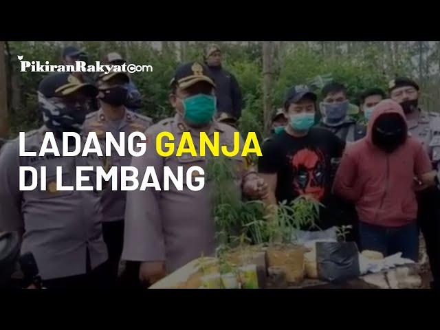 Polres Cimahi Temukan Ladang Ganja Seluas 1 Hektare di Lembang Bandung Barat