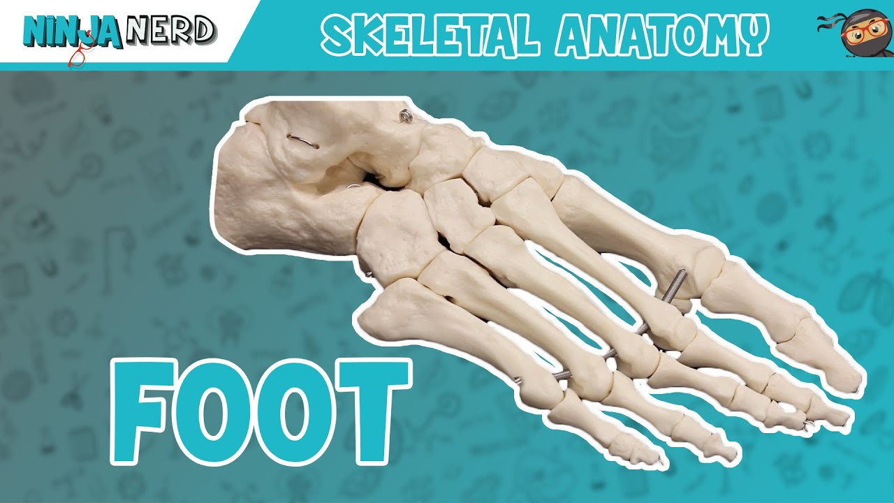 Foot Anatomy Bones Of The Foot Youtube