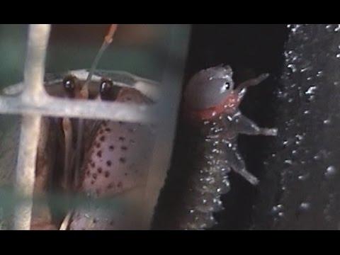 Cobito y gusano de 6 patas de la mosca roja La perrita Nachla