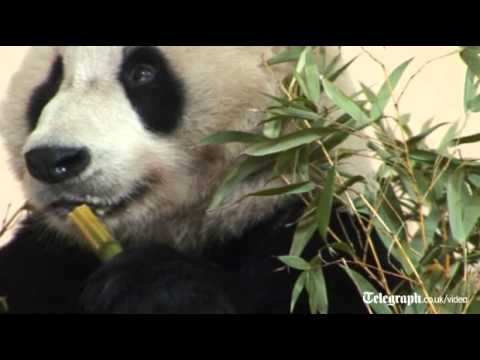 Yang Guang, the chinese giant panda gets used to his new home at Edinburgh Zoo