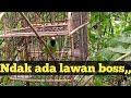 Mikat Burung Cucak Ijo Kepala Kuning Itung Itung Uji Nyali  Mp3 - Mp4 Download