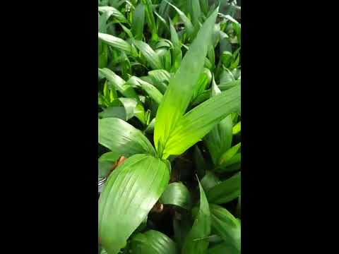 hati-hati!! ciri ciri bibit kelapa sawit yang tidak bagus! jangan ditanam