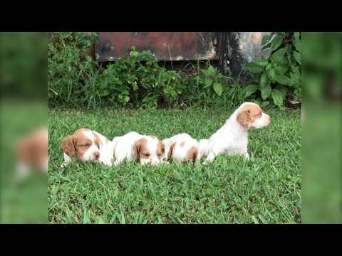 Twin Cedar Kennels: American Brittany Litter #130