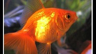 Мой аквариум -Выпуск №1 Золотые рыбки