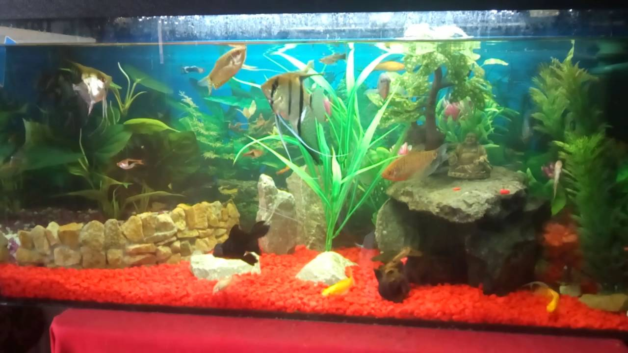 Fish for cold water aquarium - Huge Angelfish With Cold Water Fish And Lots Of Others
