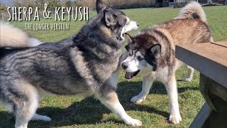 Two Husky's Reunite after months of being apart! This will make you Smile!