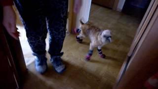 Сапоги-скороходы для собаки