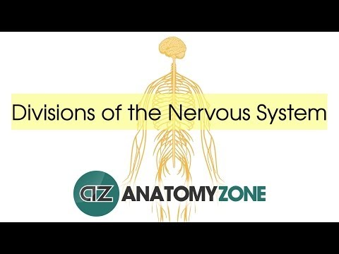 Divisions Of The Nervous System - Neuroanatomy Basics