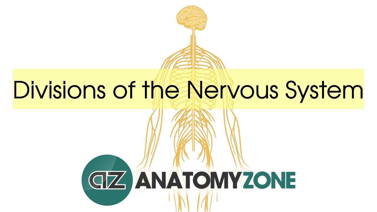 Divisions Of The Nervous System Neuroanatomy Basics Youtube
