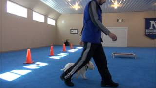 Co Co (west Highland Terrier) Boot Camp Training Demonstration